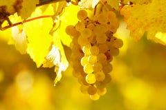 黄色葡萄在葡萄园里在秋天 免版税库存图片