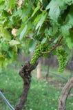 绿色葡萄在葡萄园里 图库摄影