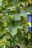 绿色葡萄葡萄在一个分支的在庭院里 免版税库存照片