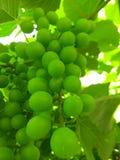 绿色葡萄豆在初夏 免版税图库摄影