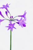 紫色葱属特写镜头 库存图片