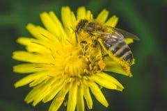 黄色蒲公英和蜂 这里春天 蜂爱这朵花 大下落绿色叶子宏观摄影水 库存图片