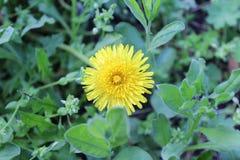 黄色蒲公英在春天在绿草中的开了花 库存图片
