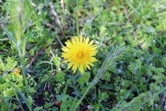 黄色蒲公英在春天开了花 免版税图库摄影
