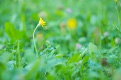 黄色蒲公英在森林, defocused光里在背景, abst中 免版税库存图片