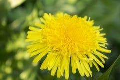 黄色蒲公英开花与在绿草的叶子 库存图片