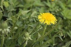 黄色蒲公英开花与在绿草的叶子 库存照片