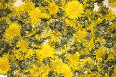 黄色蒲公英的许多芽的背景 免版税图库摄影