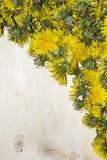 黄色蒲公英的许多芽的背景 库存图片
