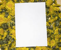 黄色蒲公英的许多芽的背景 免版税库存照片