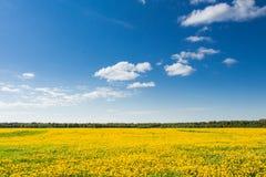 黄色蒲公英的领域反对蓝天的 免版税库存照片