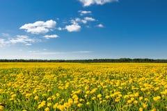 黄色蒲公英的领域反对蓝天的 库存照片
