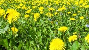 黄色蒲公英领域和土蜂 影视素材