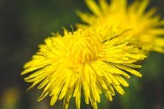 黄色蒲公英 这里春天 蜂爱这朵花 大下落绿色叶子宏观摄影水 免版税库存照片