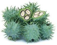 绿色蓖麻籽 库存照片