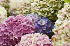 紫色蓝色和白色八仙花属在Pico海岛 亚速尔群岛 Portuga 免版税库存图片