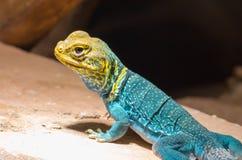 黄色蓝色抓住衣领口的蜥蜴 库存图片