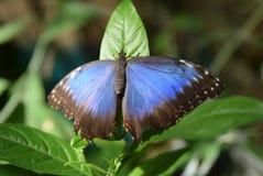 黑色蓝色蝴蝶 库存照片