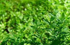 绿色蓝莓叶子 免版税库存照片