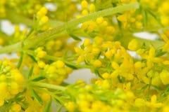黄色蓬子菜(猪殃殃属Verum)花特写镜头 图库摄影