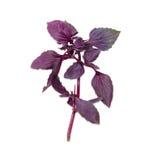 紫色蓬蒿的小树枝在轻的背景的 库存照片