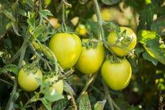 绿色蕃茄在一个有机庭院里 免版税库存图片