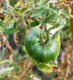 绿色蕃茄在垂悬在分支的庭院里 免版税库存照片