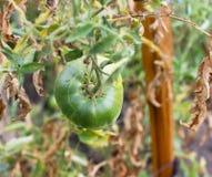 绿色蕃茄在垂悬在分支的庭院里 库存图片