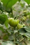 绿色蕃茄在庭院里 免版税库存照片