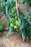 绿色蕃茄在菜园里在夏天 免版税图库摄影