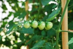 绿色蕃茄藤 库存照片