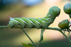 绿色蕃茄蠕虫 免版税库存照片