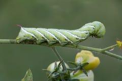 绿色蕃茄蠕虫 库存照片