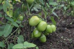 绿色蕃茄 免版税库存照片