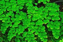 绿色蕨叶子 库存图片