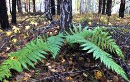 绿色蕨在秋天森林里 免版税库存图片