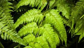 绿色蕨自然横幅 免版税图库摄影