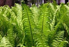 绿色蕨离开(拉特 Polypodiophyta) 库存图片