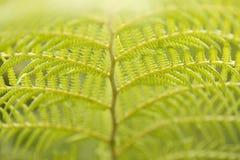 绿色蕨 免版税库存照片