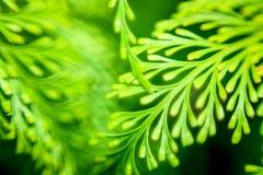 绿色蕨 免版税图库摄影