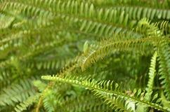 绿色蕨 免版税库存图片
