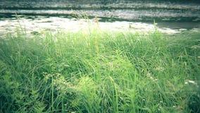 绿色薹、芦苇、草摇摆在河附近的或湖 影视素材