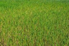 绿色藤茎领域 免版税库存照片