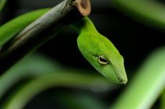 绿色藤蛇 图库摄影