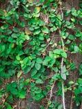 绿色藤长大充分墙壁 库存照片