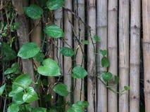 绿色藤长大充分背景纹理的老木头 免版税库存图片
