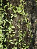 绿色藤长大充分背景纹理的老木头 免版税库存照片