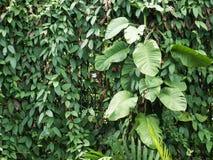 绿色藤长大充分背景纹理的老木头 库存图片