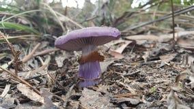 紫色蘑菇 库存图片