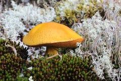 黄色蘑菇 免版税库存照片